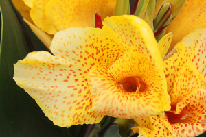 iris flower pseudacorus